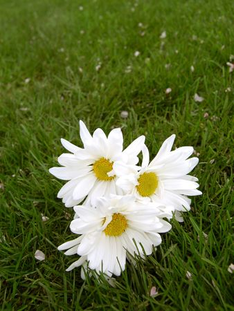 beautiful big daisies laying in the grass