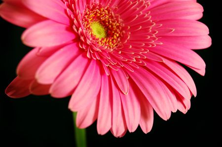 beautiful pink gerber daisy on a black background