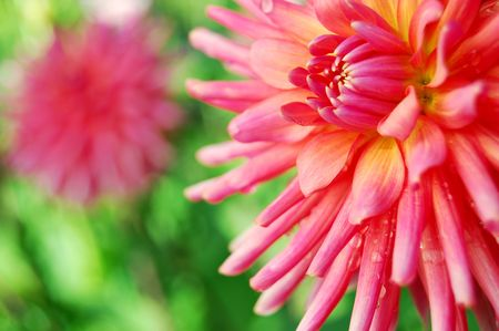 bright dahlias in the morning