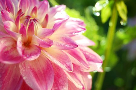 bright dahlia covered in dew Stock Photo