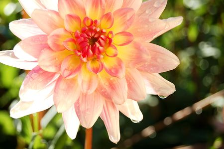 round dahlia covered in dew Stock Photo