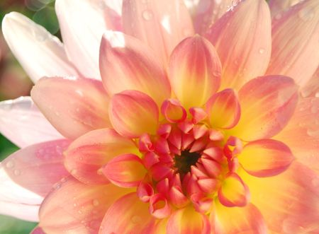 center  of a bright dahlia in the morning