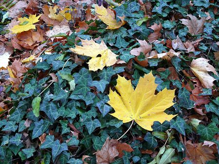 Yellow maple leaves on ivy background photo