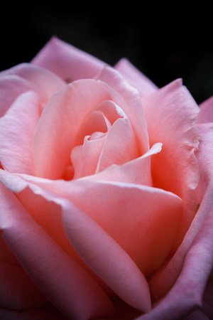 Pink Rose on dark background Foto de archivo - 107311852