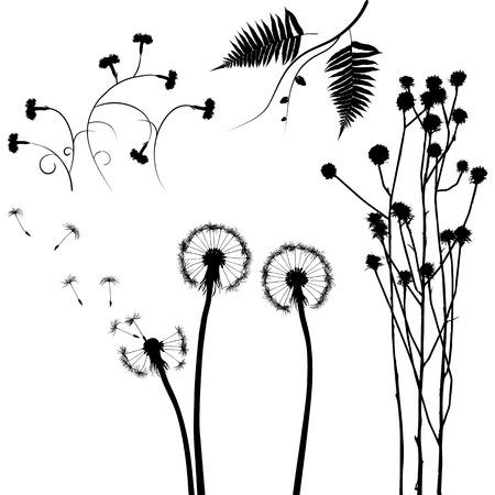 acacia: plant
