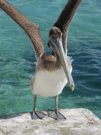 American pelican rests on post in Yucatan Stock Photo - 12061412