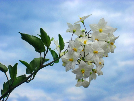 philadelphus: Flowers on blue sky background