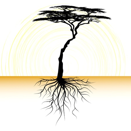 acacia: Acacia tree with a root