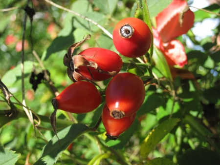 catarrh: Red Rose Hips