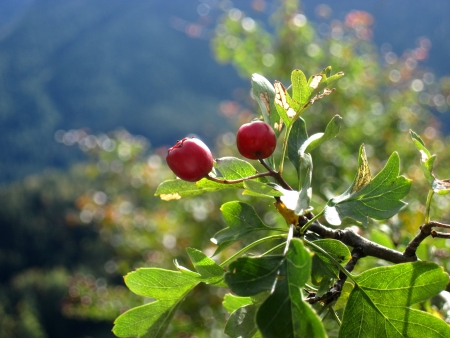 hedgerow: Cranberry forest - natural medicine