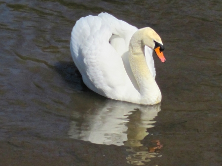 Swan with clipping path, photo photo