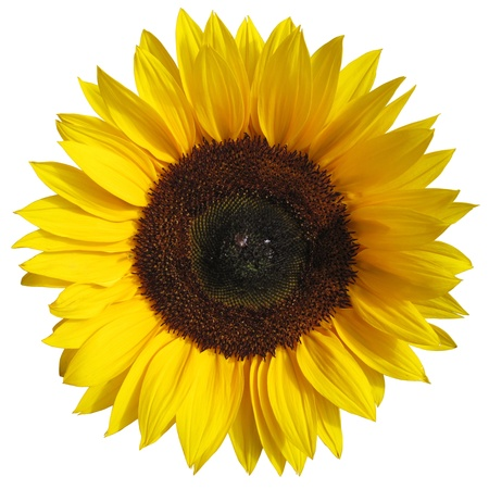 Die Sonnenblume auf weißem Hintergrund mit einem Beschneidungspfad Standard-Bild - 21654720