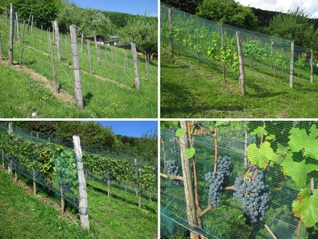 quatre saisons: Vignoble - Quatre Saisons Banque d'images