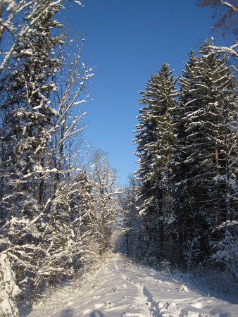 knurled: Snowy winter forest and knurled wide trails. Christmas morning. Stock Photo
