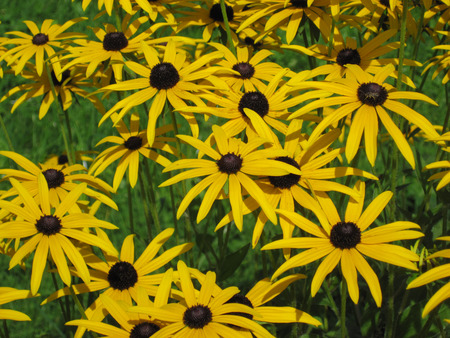 hirta: Rudbekia flowers field, blossoming, summer time, floral background Stock Photo