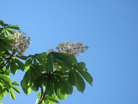 The blooming chestnut - photo with a space for text photo