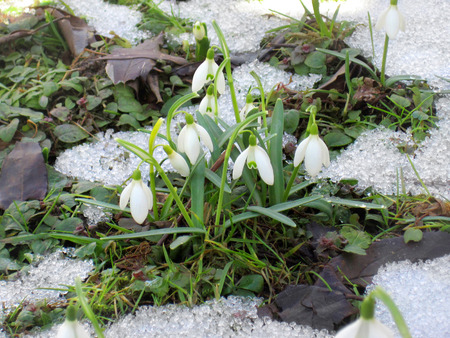 early spring snow: Snowdrops flowering from the snow, first sign of spring