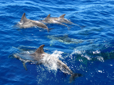 Dolphins family swimming in the ocean