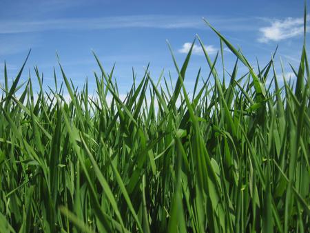 Beautiful green grass under blue sky, clouds and sun Foto de archivo