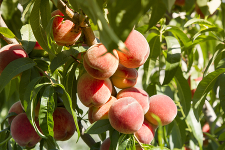 Peach tree with fruits growing in the garden. toned Stock Photo