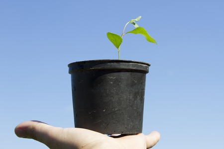 The hand holds a small sprout of a tree in the flowerpot