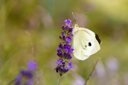 White Butterfly on Lavender (lavendula) Stock Photo