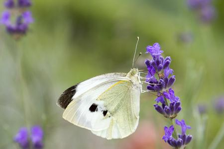 white butterfly on lavender flower Banco de Imagens