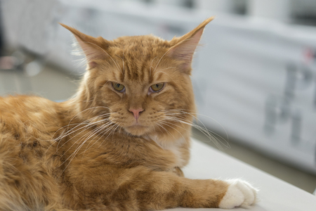 Close up shot big ginger furry cat on the childs knees. Stock Photo