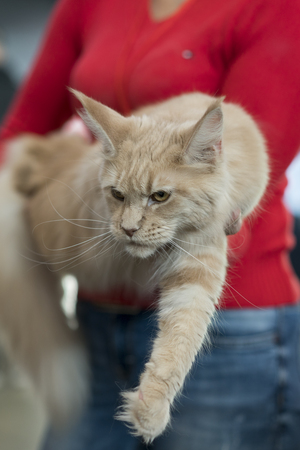 light brown cat on hands Stock Photo