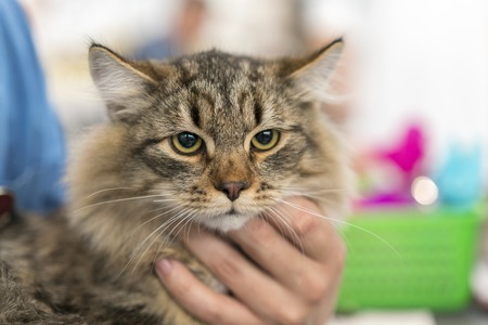 Close-up of Maine coon, Stock Photo