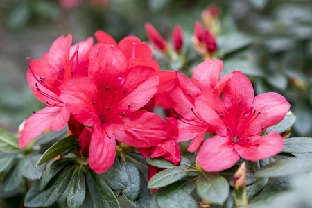 Brightly red azalea flowers close-up