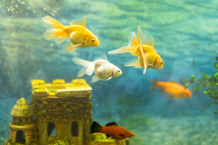 Goldfish in the aquarium on the background of a stone castle. Stock fotó