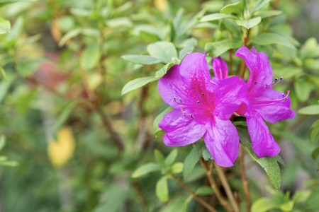 Purple azalea flower in the summer garden.