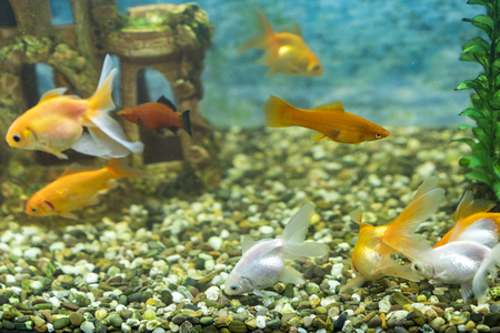 Lots of beautiful aquarium fish for home.