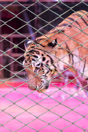Tiger in the circus, behind the grid.