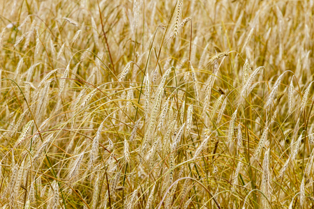 A field with bold wheat. spikelets of wheat. Yellow background