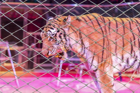 Tiger in the circus, behind the grid Stock Photo