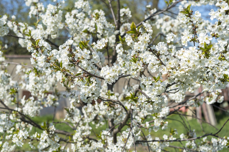 The branches of a blossoming tree. Cherry tree in white flowers. Blurring background