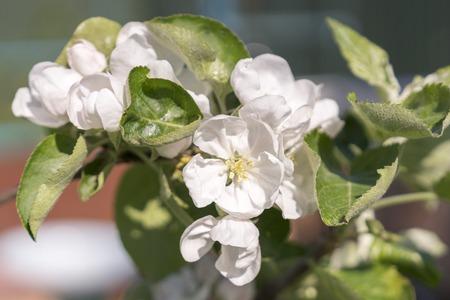 Blooming apple tree in spring time. White flowers of apple-tree.