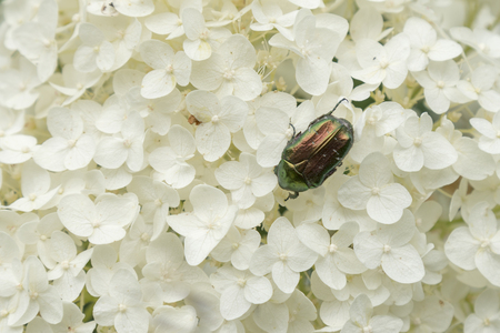 Green beetle on the petals white hydrangea For many species these beetles characteristic bright metallic color. Green beetle on white flower