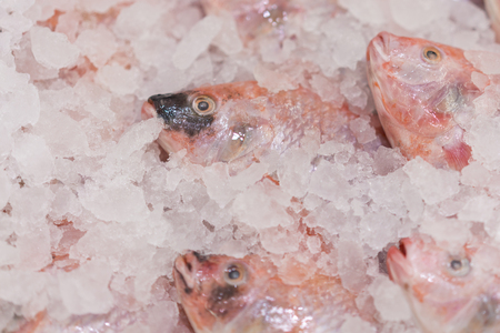 Red perch in the ice in the supermarket. Sea food.