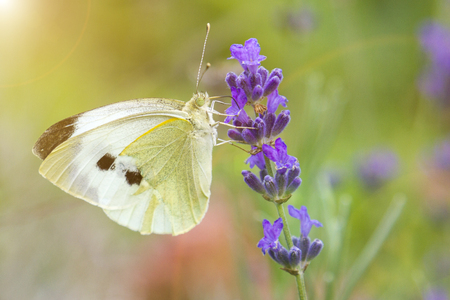 White butterfly on a flower on a sunny day. Butterfly on a lavender flower.