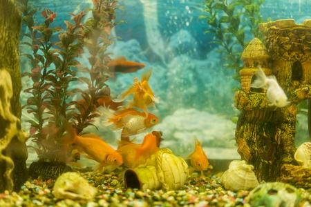 Multicolored fish in the aquarium. Goldfish in freshwater aquarium with green beautiful planted tropical. fish in freshwater aquarium with green beautiful planted tropical. toned. 写真素材
