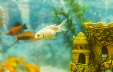 Multicolored fish in the aquarium. Goldfish in freshwater aquarium with green beautiful planted tropical. fish in freshwater aquarium with green beautiful planted tropical. toned. Banco de Imagens