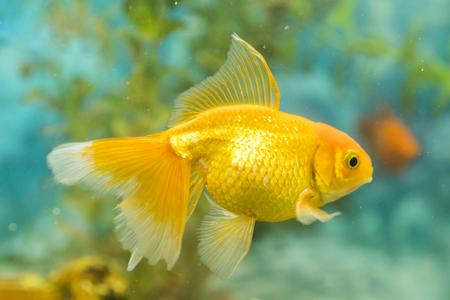 Poisson rouge dans un aquarium d'eau douce avec un beau vert tropical planté. poisson dans un aquarium d'eau douce avec un beau vert tropical planté.
