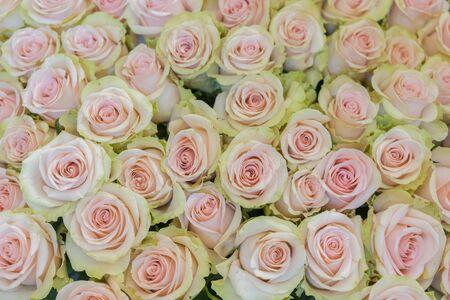 Beige roses background. White roses horizontal seamless pattern. White roses arrangement. Stock Photo