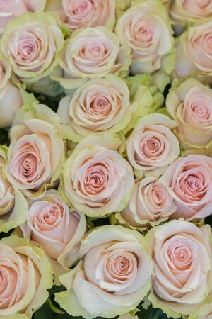 Beige roses background. White roses horizontal seamless pattern. White roses arrangement. vertical photo.