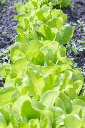 Butterhead Lettuce salad plant, hydroponic vegetable leaves. fresh green salad in soil and pots, fresh green salad in soil and pots, green vegetable. vertical photo.