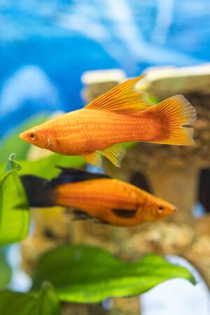 Tropical colorful fishes swimming in aquarium with plants. Goldfish, Carassius auratus, captive. Fish in the aquarium. vertical photo. Imagens