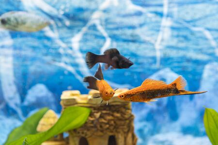 Black and gold fish in an aquarium. Colorful fish in the aquarium. Beautiful fish in the aquarium,Goldfish, aquarium, a fish on the background of aquatic plants.